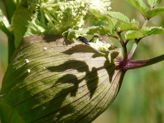 Plantes sauvages comestibles thématique :  Aromates et fleurs sauvages